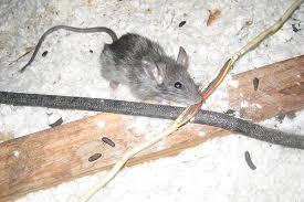 Ketrusakan akiban tikus